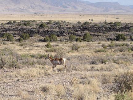 A pronghorn antelope in Valley of Fires State Park.
