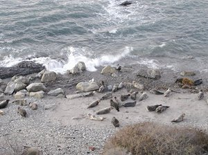 The seal rookery at Carpinteria, California